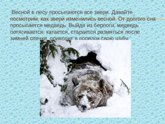 Весной в лесу просыпаются все звери. Давайте посмотрим, как звери изменились весной. От долгого сна просыпается медведь. Выйдя из берлоги, медведь потягивается, катается, старается размяться после зимней спячки, приводит в порядок свою шубу.