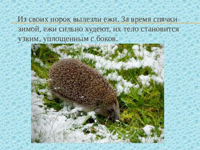 Из своих норок вылезли ежи. За время спячки зимой, ежи сильно худеют, их тело становится узким, уплощенным с боков.