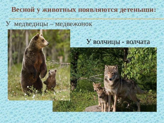 Весной у животных появляются детеныши: У медведицы – медвежонок У волчицы - волчата