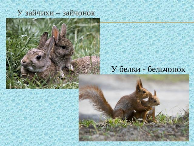 У зайчихи – зайчонок У белки - бельчонок