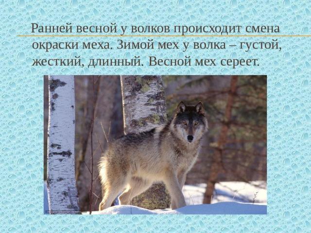 Ранней весной у волков происходит смена окраски меха. Зимой мех у волка – густой, жесткий, длинный. Весной мех сереет.