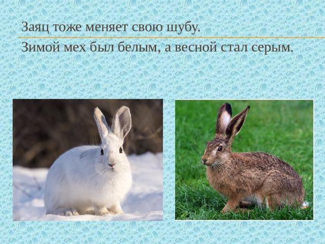 Заяц тоже меняет свою шубу. Зимой мех был белым, а весной стал серым.