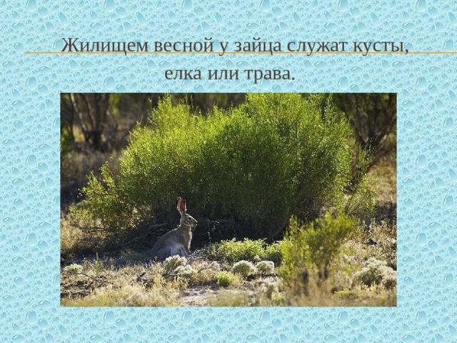 Жилищем весной у зайца служат кусты, елка или трава.