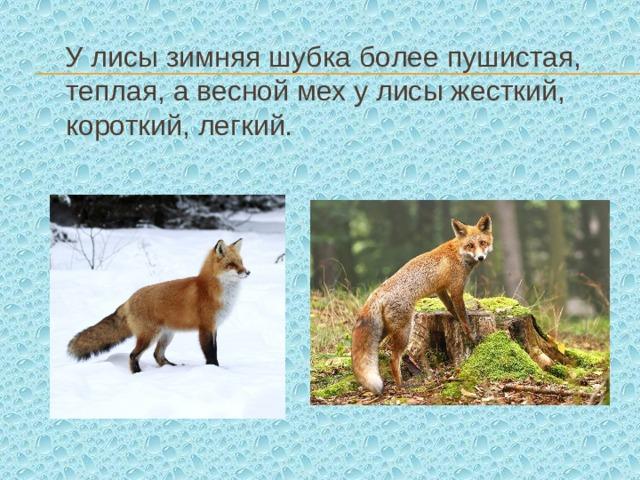 У лисы зимняя шубка более пушистая, теплая, а весной мех у лисы жесткий, короткий, легкий.