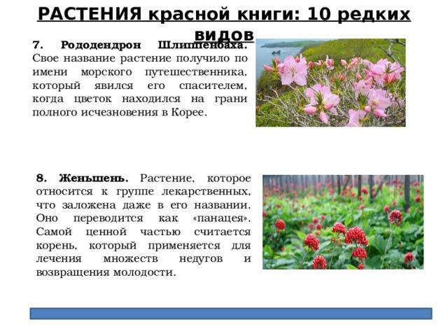 РАСТЕНИЯ красной книги: 10 редких видов 7. Рододендрон Шлиппенбаха. Свое название растение получило по имени морского путешественника, который явился его спасителем, когда цветок находился на грани полного исчезновения в Корее. 8. Женьшень. Растение, которое относится к группе лекарственных, что заложена даже в его названии. Оно переводится как «панацея». Самой ценной частью считается корень, который применяется для лечения множеств недугов и возвращения молодости.