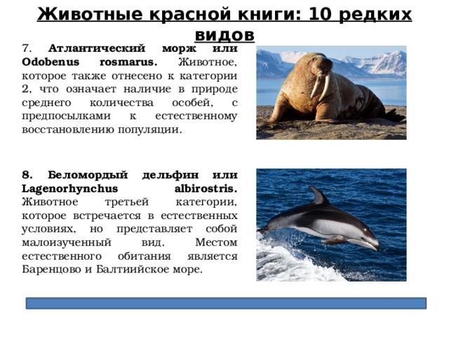 Животные красной книги: 10 редких видов 7. Атлантический морж или Odobenus rosmarus. Животное, которое также отнесено к категории 2, что означает наличие в природе среднего количества особей, с предпосылками к естественному восстановлению популяции. 8. Беломордый дельфин или Lagenorhynchus albirostris. Животное третьей категории, которое встречается в естественных условиях, но представляет собой малоизученный вид. Местом естественного обитания является Баренцово и Балтиийское море.