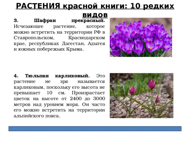 РАСТЕНИЯ красной книги: 10 редких видов 3. Шафран прекрасный. Исчезающее растение, которое можно встретить на территории РФ в Ставропольском, Краснодарском крае, республиках Дагестан, Адыгея и южных побережьях Крыма. 4. Тюльпан карликовый. Это растение не зря называется карликовым, поскольку его высота не превышает 10 см. Произрастает цветок на высоте от 2400 до 3000 метров над уровнем моря. Он часто его можно встретить на территории альпийского пояса.