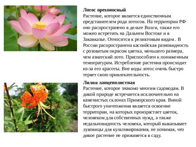 Лотос орехоносный Растение, которое является единственным представителем рода лотосов. На территории РФ оно распространено в дельте Волги, также его можно встретить на Дальнем Востоке и в Закавказье. Относится к реликтовым видам . В России распространена каспийская разновидность с розоватым окрасом цветка, меньшего размера, чем азиатский лото. Приспособлен к пониженным температурам. Истребление растения происходит из-за его красоты. Вне воды лотос очень быстро теряет свою привлекательность.  Лилия ланценолистная Растение, которое знакомо многим садоводам. В дикой природе встречается исключительно на каменистых склонах Приморского края. Виной быстрого уничтожения является освоение территории, на которых произрастает цветок, человеком для собственных нужд, а также недальновидность человека, который выкапывает луковицы для культивирования, не понимая, что дикое растение не приживется в саду.