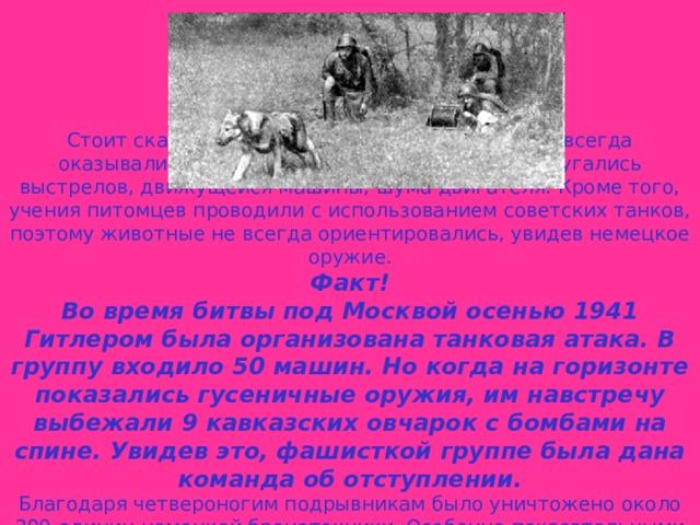 Стоит сказать, что противотанковые собаки не всегда оказывались эффективными. Многие питомцы пугались выстрелов, движущейся машины, шума двигателя. Кроме того, учения питомцев проводили с использованием советских танков, поэтому животные не всегда ориентировались, увидев немецкое оружие. Факт! Во время битвы под Москвой осенью 1941 Гитлером была организована танковая атака. В группу входило 50 машин. Но когда на горизонте показались гусеничные оружия, им навстречу выбежали 9 кавказских овчарок с бомбами на спине. Увидев это, фашисткой группе была дана команда об отступлении. Благодаря четвероногим подрывникам было уничтожено около 300 единиц немецкой бронетехники. Особенно показательными оказались бои за Сталинград. Псы сумели остановить 42 танка и 2 бронемашины.