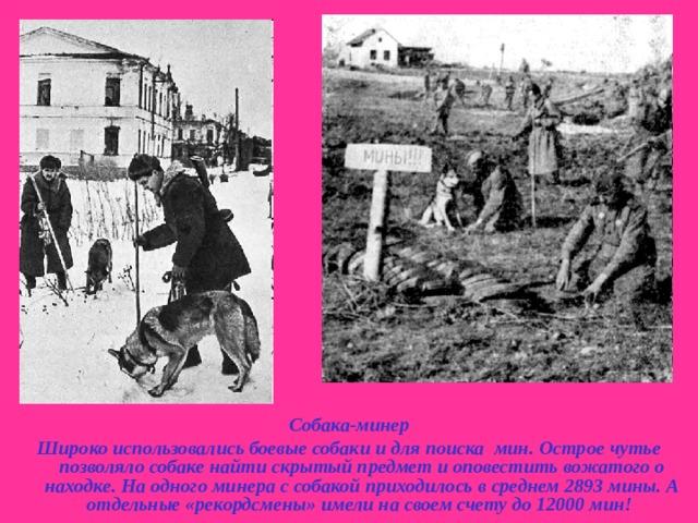 Собака-минер Широко использовались боевые собаки и для поиска мин. Острое чутье позволяло собаке найти скрытый предмет и оповестить вожатого о находке. На одного минера с собакой приходилось в среднем 2893 мины. А отдельные «рекордсмены» имели на своем счету до 12000 мин!