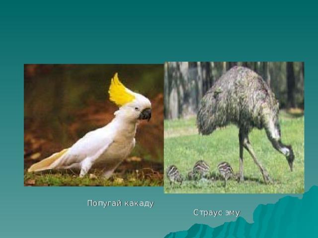 Утконос     Попугай какаду    Страус эму