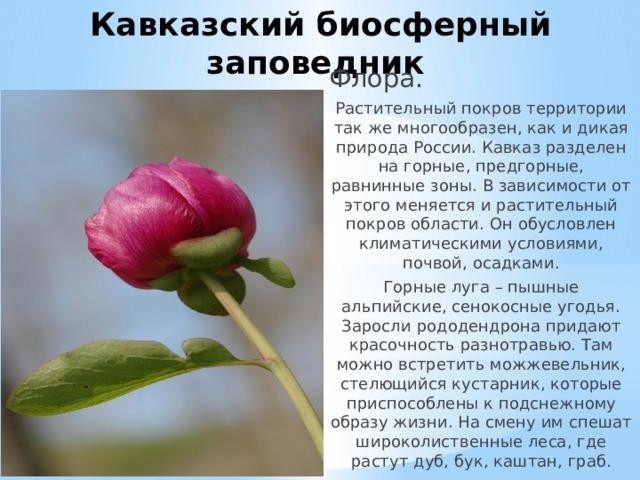 Кавказский биосферный заповедник Флора. Растительный покров территории так же многообразен, как и дикая природа России. Кавказ разделен на горные, предгорные, равнинные зоны. В зависимости от этого меняется и растительный покров области. Он обусловлен климатическими условиями, почвой, осадками. Горные луга – пышные альпийские, сенокосные угодья. Заросли рододендрона придают красочность разнотравью. Там можно встретить можжевельник, стелющийся кустарник, которые приспособлены к подснежному образу жизни. На смену им спешат широколиственные леса, где растут дуб, бук, каштан, граб.
