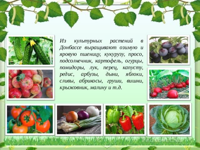 Из культурных растений в Донбассе выращивают озимую и яровую пшеницу, кукурузу, просо, подсолнечник, картофель, огурцы, помидоры, лук, перец, капусту, редис, арбузы, дыни, яблоки, сливы, абрикосы, груши, вишни, крыжовник, малину и т.д.
