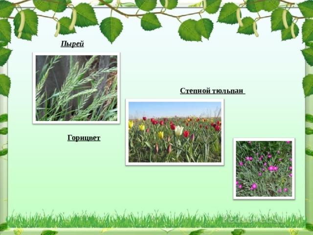 Пырей  Степной тюльпан  Горицвет