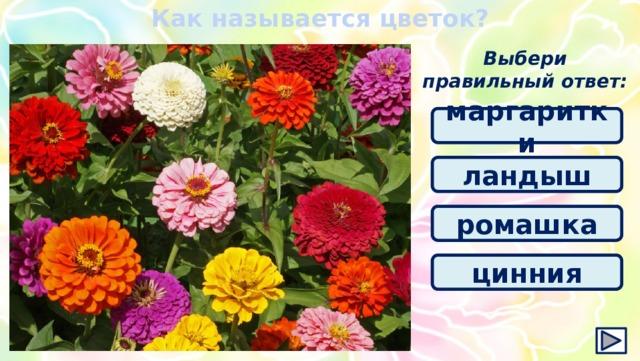 Как называется цветок? Выбери правильный ответ: маргаритки ландыш ромашка цинния