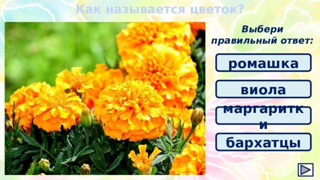 Как называется цветок? Выбери правильный ответ: ромашка виола маргаритки бархатцы