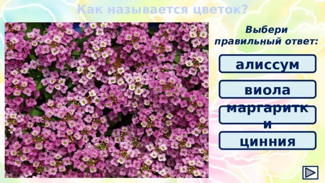 Как называется цветок? Выбери правильный ответ: алиссум виола маргаритки цинния