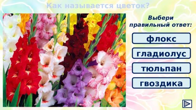 Как называется цветок? Выбери правильный ответ: флокс гладиолус тюльпан гвоздика