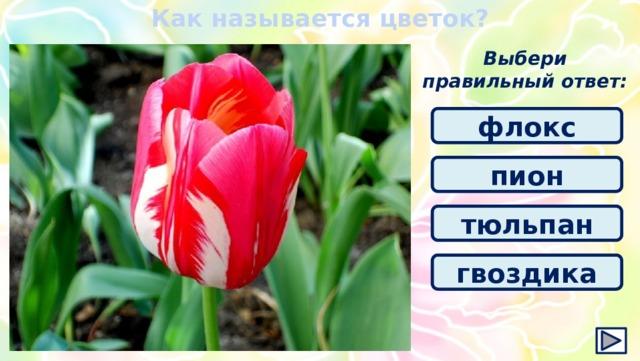 Как называется цветок? Выбери правильный ответ: флокс пион тюльпан гвоздика