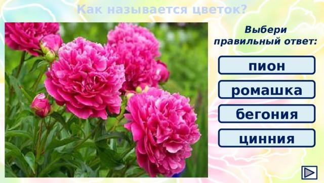Как называется цветок? Выбери правильный ответ: пион ромашка бегония цинния