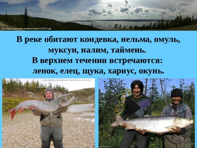 В реке обитают кондевка, нельма, омуль, муксун, налим, таймень.  В верхнем течении встречаются:  ленок, елец, щука, хариус, окунь.