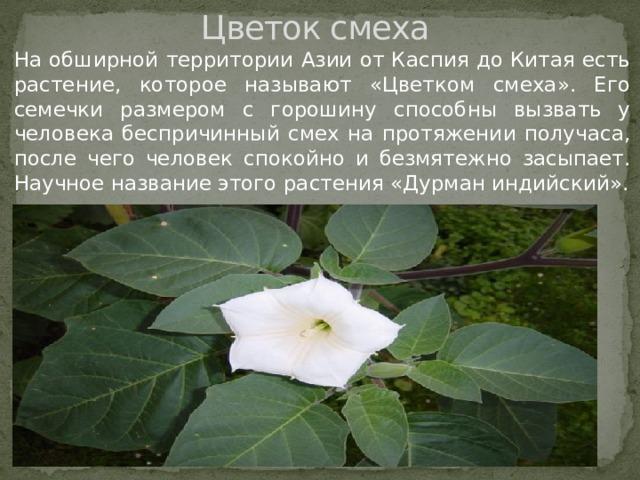 Цветок смеха На обширной территории Азии от Каспия до Китая есть растение, которое называют «Цветком смеха». Его семечки размером с горошину способны вызвать у человека беспричинный смех на протяжении получаса, после чего человек спокойно и безмятежно засыпает. Научное название этого растения «Дурман индийский».