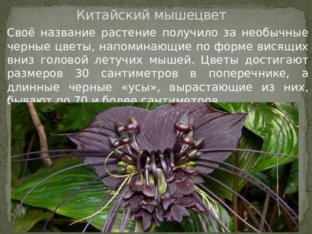Китайский мышецвет Своё название растение получило за необычные черные цветы, напоминающие по форме висящих вниз головой летучих мышей. Цветы достигают размеров 30 сантиметров в поперечнике, а длинные черные «усы», вырастающие из них, бывают по 70 и более сантиметров.