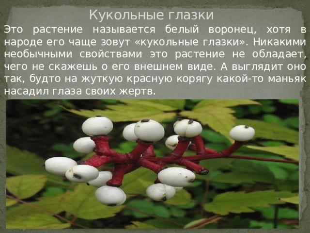Кукольные глазки Это растение называется белый воронец, хотя в народе его чаще зовут «кукольные глазки». Никакими необычными свойствами это растение не обладает, чего не скажешь о его внешнем виде. А выглядит оно так, будто на жуткую красную корягу какой-то маньяк насадил глаза своих жертв.