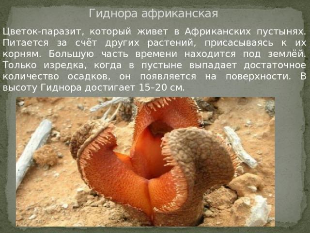Гиднора африканская Цветок-паразит, который живет в Африканских пустынях. Питается за счёт других растений, присасываясь к их корням. Большую часть времени находится под землёй. Только изредка, когда в пустыне выпадает достаточное количество осадков, он появляется на поверхности. В высоту Гиднора достигает 15–20 см.
