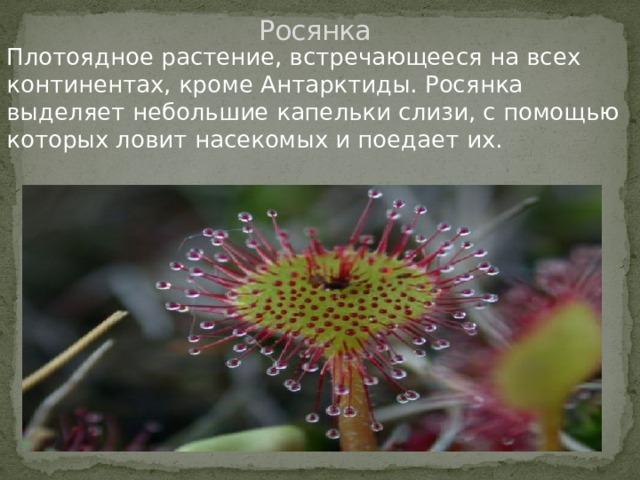 Росянка Плотоядное растение, встречающееся на всех континентах, кроме Антарктиды. Росянка выделяет небольшие капельки слизи, с помощью которых ловит насекомых и поедает их.