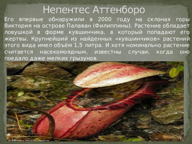 Непентес Аттенборо Его впервые обнаружили в 2000 году на склонах горы Виктория на острове Палаван (Филиппины). Растение обладает ловушкой в форме кувшинчика, в который попадают его жертвы. Крупнейший из найденных «кувшинчиков» растений этого вида имел объём 1,5 литра. И хотя номинально растение считается насекомоядным, известны случаи, когда оно поедало даже мелких грызунов.