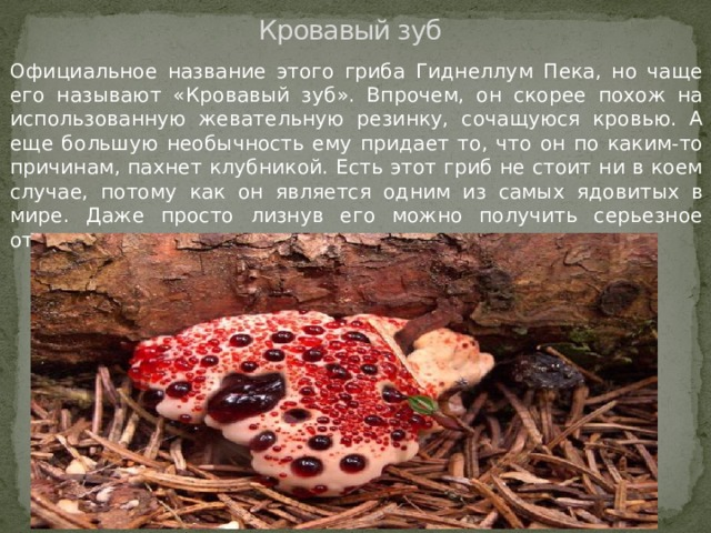 Кровавый зуб Официальное название этого гриба Гиднеллум Пека, но чаще его называют «Кровавый зуб». Впрочем, он скорее похож на использованную жевательную резинку, сочащуюся кровью. А еще большую необычность ему придает то, что он по каким-то причинам, пахнет клубникой. Есть этот гриб не стоит ни в коем случае, потому как он является одним из самых ядовитых в мире. Даже просто лизнув его можно получить серьезное отравление.