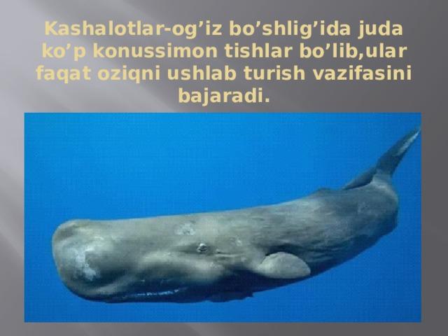 Kashalotlar-og'iz bo'shlig'ida juda ko'p konussimon tishlar bo'lib,ular faqat oziqni ushlab turish vazifasini bajaradi.