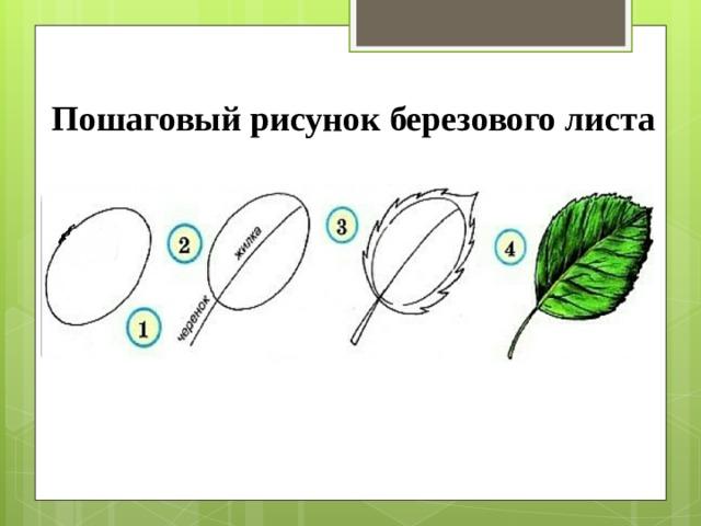 Пошаговый рисунок березового листа