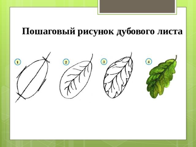 Пошаговый рисунок дубового листа