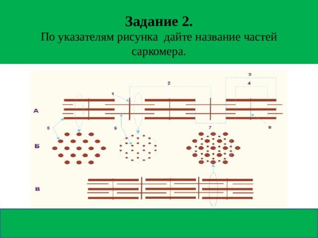 Задание 2.  По указателям рисунка дайте название частей саркомера.