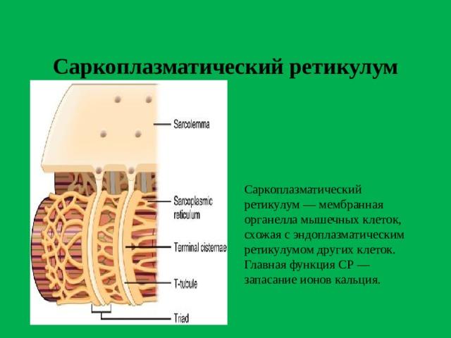 Саркоплазматический ретикулум Саркоплазматический ретикулум — мембранная органелла мышечных клеток, схожая с эндоплазматическим ретикулумом других клеток. Главная функция СР — запасание ионов кальция.
