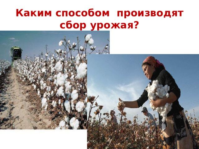 Каким способом производят сбор урожая?