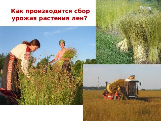 Как производится сбор урожая растения лен?