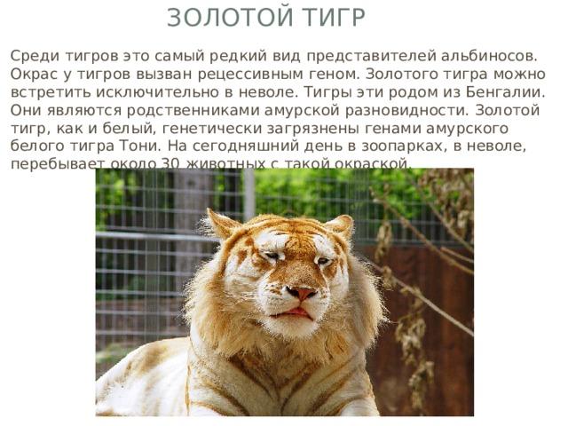 Золотой тигр Среди тигров это самый редкий вид представителей альбиносов. Окрас у тигров вызван рецессивным геном. Золотого тигра можно встретить исключительно в неволе. Тигры эти родом из Бенгалии. Они являются родственниками амурской разновидности. Золотой тигр, как и белый, генетически загрязнены генами амурского белого тигра Тони. На сегодняшний день в зоопарках, в неволе, перебывает около 30 животных с такой окраской.