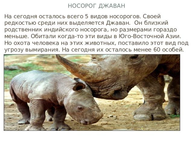 Носорог Джаван На сегодня осталось всего 5 видов носорогов. Своей редкостью среди них выделяется Джаван. Он близкий родственник индийского носорога, но размерами гораздо меньше. Обитали когда-то эти виды в Юго-Восточной Азии. Но охота человека на этих животных, поставило этот вид под угрозу вымирания. На сегодня их осталось менее 60 особей.