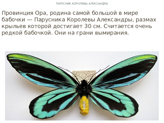 Парусник королевы Александры Провинция Ора, родина самой большой в мире бабочки — Парусника Королевы Александры, размах крыльев которой достигает 30 см. Считается очень редкой бабочкой. Они на грани вымирания.