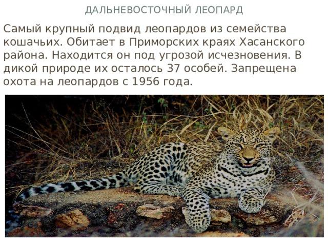 Дальневосточный леопард Самый крупный подвид леопардов из семейства кошачьих. Обитает в Приморских краях Хасанского района. Находится он под угрозой исчезновения. В дикой природе их осталось 37 особей. Запрещена охота на леопардов с 1956 года.
