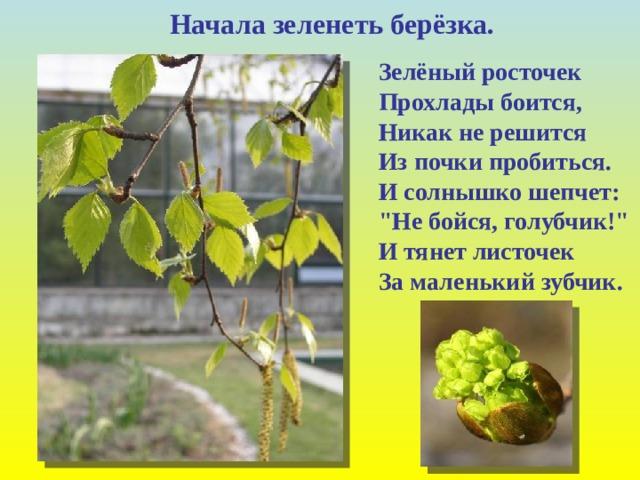Начала зеленеть берёзка. Зелёный росточек  Прохлады боится,  Никак не решится  Из почки пробиться.  И солнышко шепчет:
