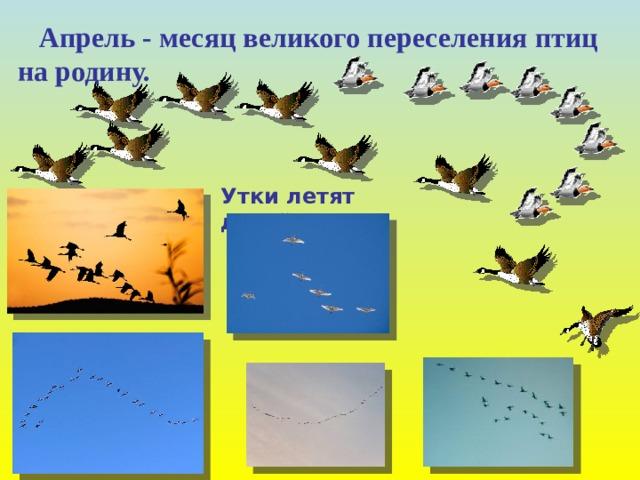 Апрель - месяц великого переселения птиц на родину. Утки летят дугой .