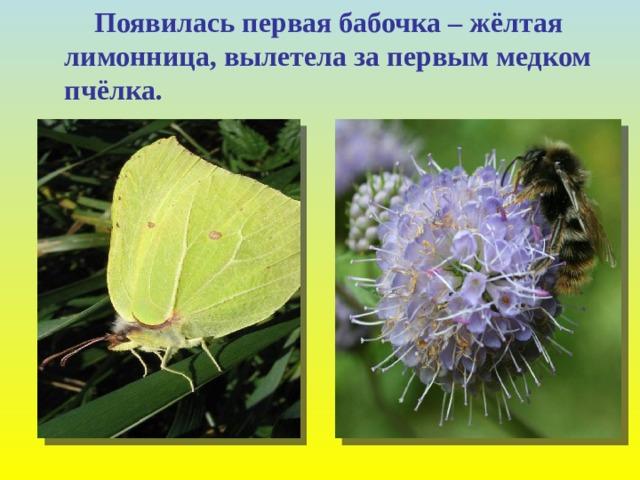Появилась первая бабочка – жёлтая лимонница, вылетела за первым медком пчёлка.