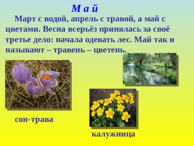 М а й  Март с водой, апрель с травой, а май с цветами. Весна всерьёз принялась за своё третье дело: начала одевать лес. Май так и называют – травень – цветень. сон-трава калужница