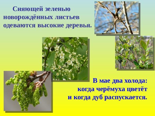 Сияющей зеленью  новорождённых листьев  одеваются высокие деревья.  В мае два холода:  когда черёмуха цветёт  и когда дуб распускается.