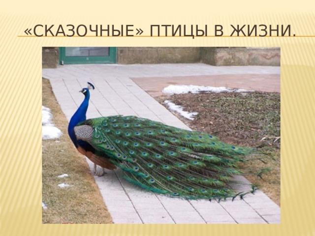 «Сказочные» птицы в жизни.