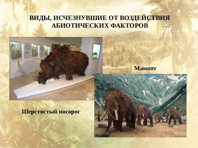 ВИДЫ, ИСЧЕЗНУВШИЕ ОТ ВОЗДЕЙСТВИЯ АБИОТИЧЕСКИХ ФАКТОРОВ Мамонт Шерстистый носорог